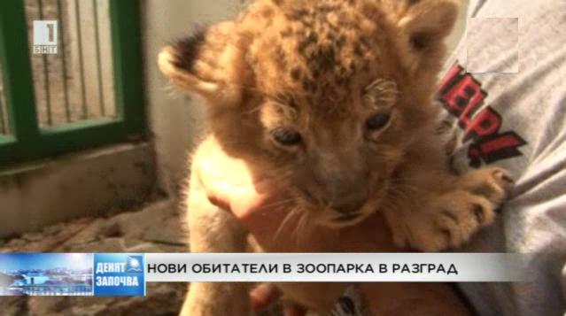 3 лъвчета се родиха в зоопарка в Разград