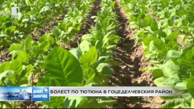 Болестта Див огън засегна тютюна в Гоцеделчевско