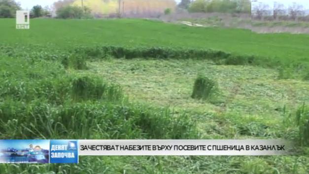 Зачестяват набезите върху посевите с пшеница в Казанлък