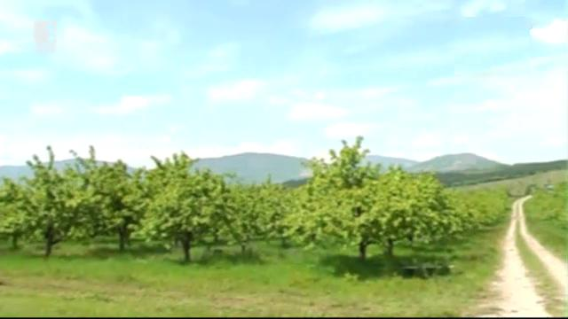 Тревога в Кюстендилско за черешовата реколта