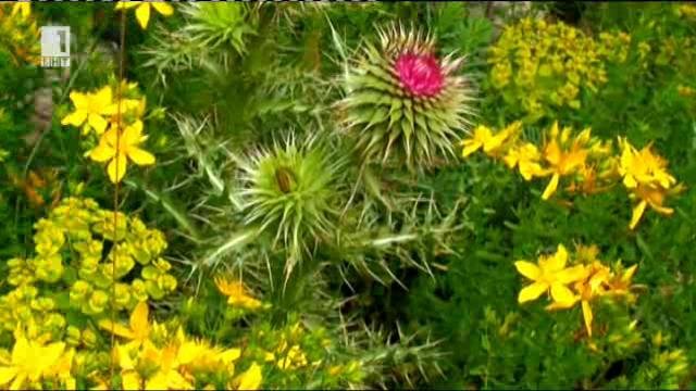 Силата, ароматът и красотата на горските цветя в Родопите