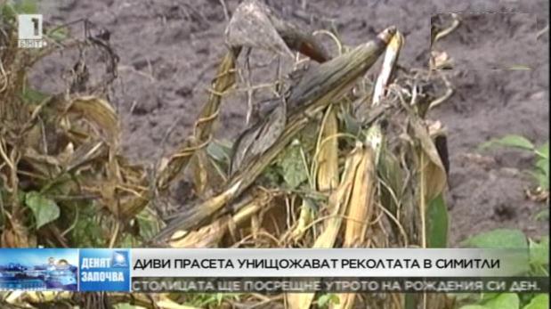 Диви прасета унищожават реколтата в Симитли