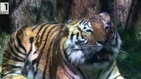 Тигрицата Найша е най-новият обитател на Варненския зоопарк