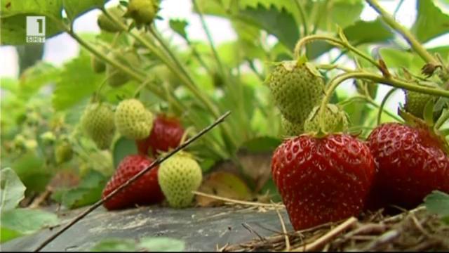 Търси се пазар за ягодите