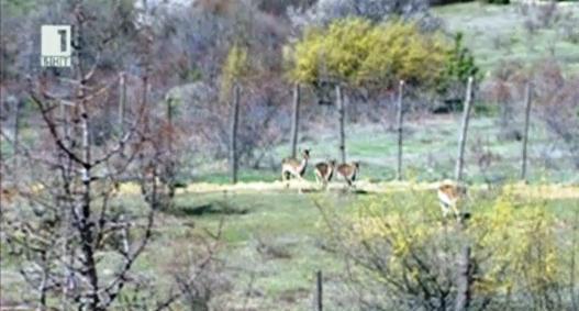 24 елени-лопатари разселени в Източните Родопи