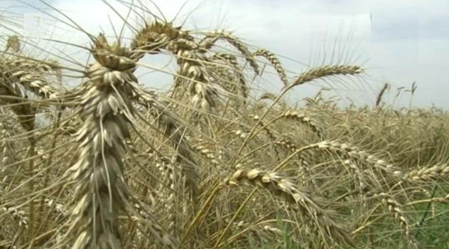 Големи щети за зърнопроизводителите във Врачанско