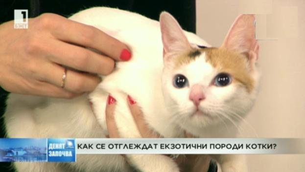 Как се отглеждат екзотични породи котки?