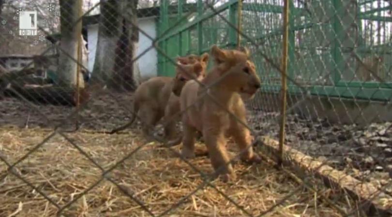 Зоопаркът в Стара Загора проявява интерес към разградските лъвчета