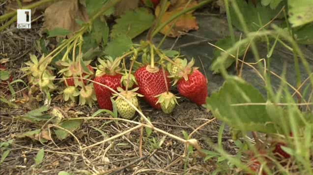 Как се берат ягоди?