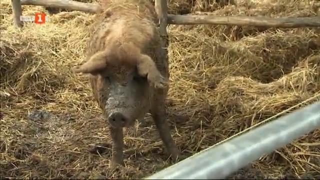 Унгарската мангалица - уникална порода свине