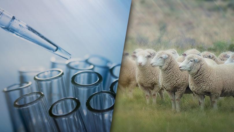 Опасна ли е чумата по животните за хората