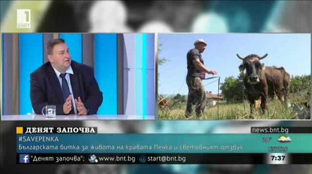 Българската битка за живота на кравата Пенка и световният отзвук