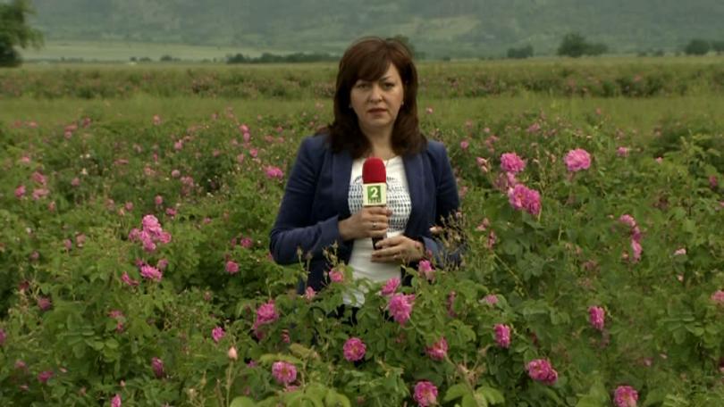 Истината за качеството на българското розово масло
