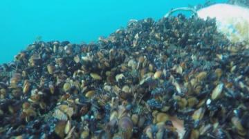 Еколози от Варна разработиха подводни мидени рифове