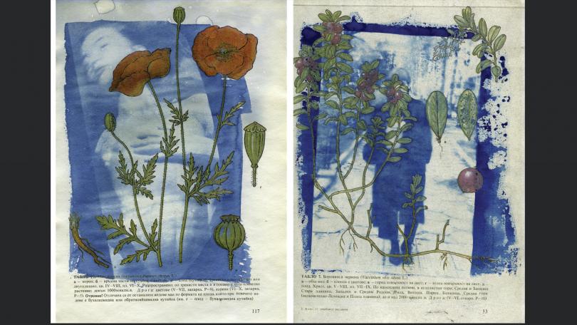 Мария и боровинките, 2016-2017 фотография, цианотипия върху книга с илюстрации на ботанически видове, А4