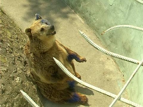 На живо от зоопарка във Варна занаранената мечка Свобода