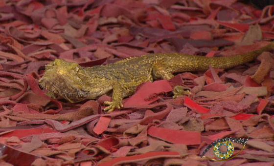 Брадатата агама – последните останали дракони по Земята