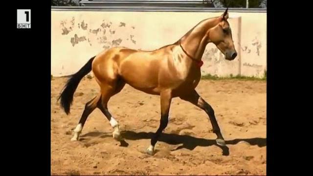Ахал Теке - небесните коне на Туркменистан