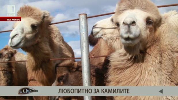 Любопитно за камилите