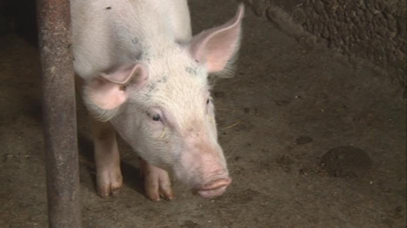 Чумата по свинете - още за мерките срещу заразата