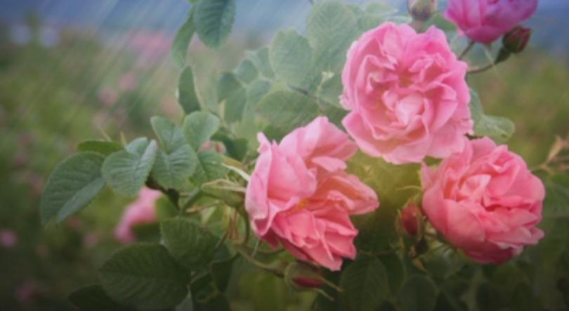 Ще се реши ли проблемът на розопроизводителите? Министър Румен Порожанов