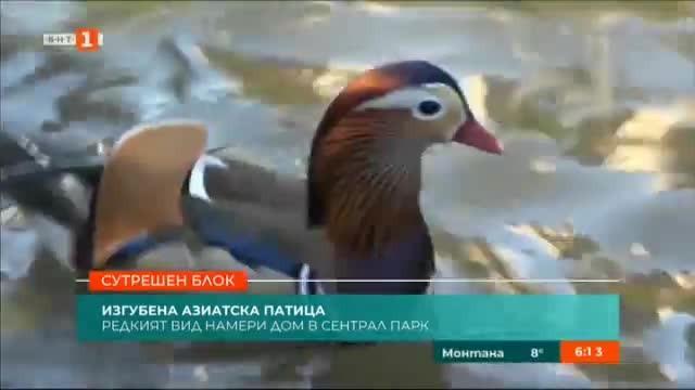 Изгубена азиатска патица намери дом в Сентръл парк