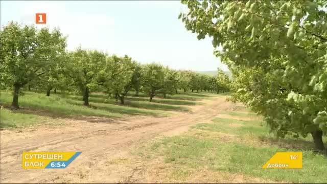 Без кайсии и череши в Русенско заради слабата реколта