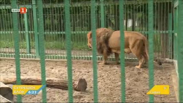 Какво е състоянието на лъва Любо в разградския зоопарк