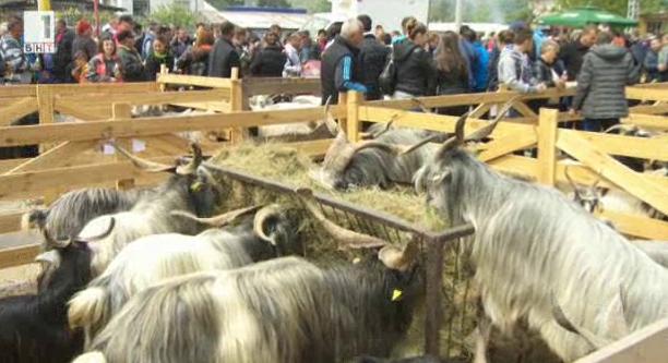 Уникални екземпляри от най-старите български породи животни