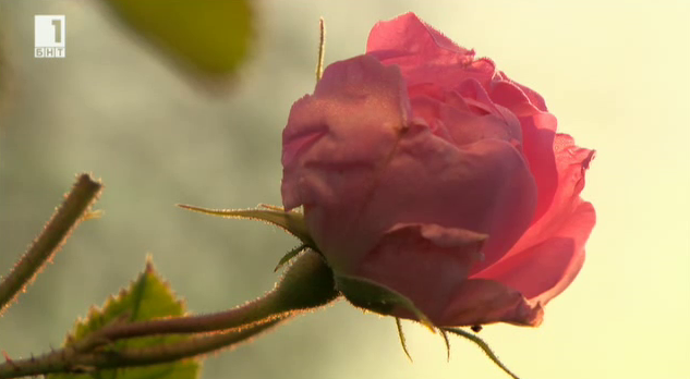 Истории от розоварната