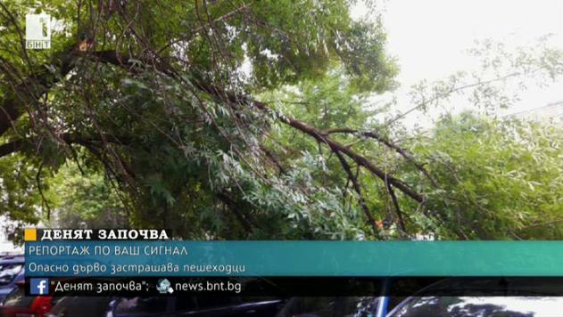 Опасно дърво застрашава пешеходци