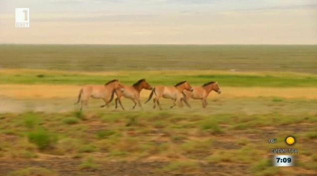 Ще бъдат ли спасени конете на Пржевалски?