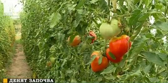 Наши учени създадоха нов сорт домати