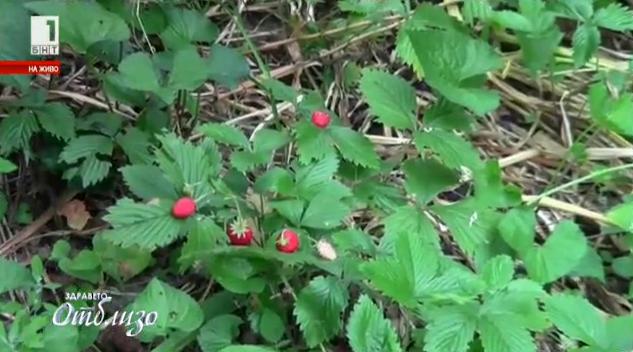 Природна аптека: Диви ягоди