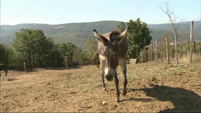 Ферма за магарета - екзотика с голям бизнес потенциал