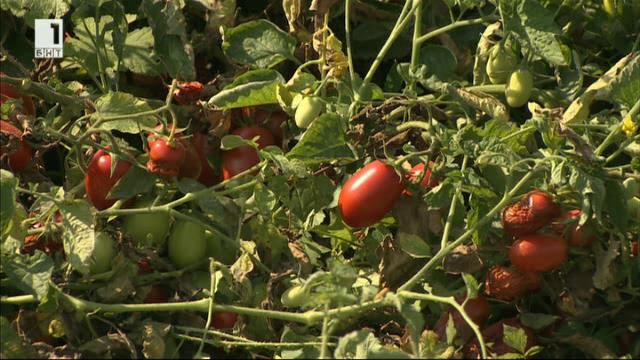 Най-големият производител на домати у нас