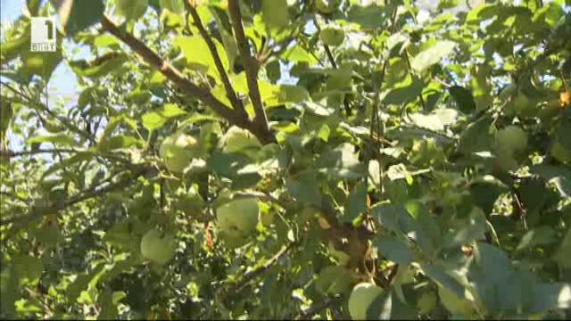 Преработката на ябълки като успешен семеен бизнес
