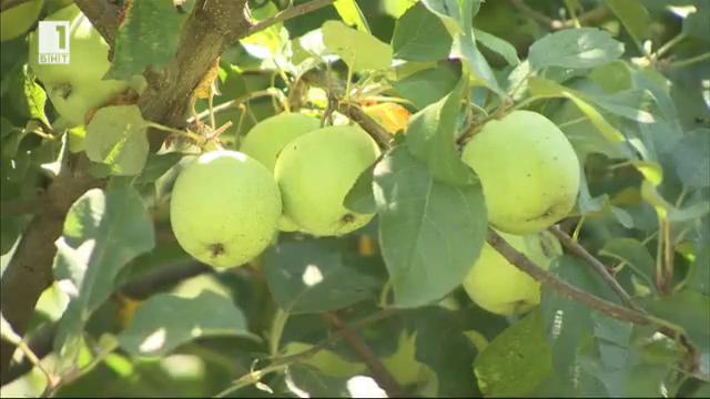 Младо семейство отглежда био ябълки