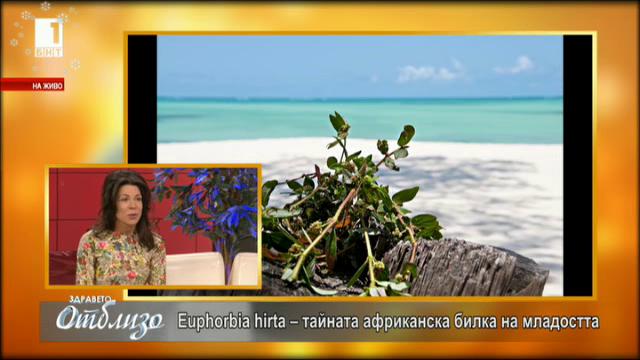 Д-р Снежана Манджукова за Euphorbia hirta – ценна африканска билка