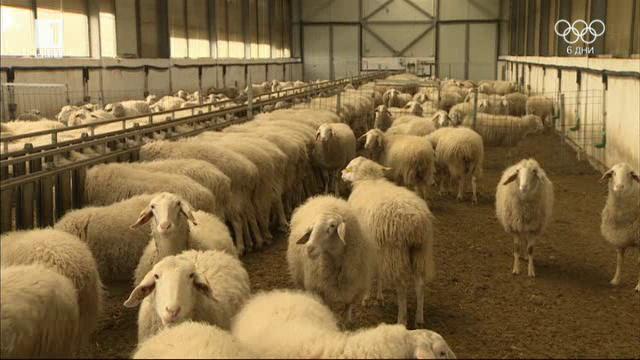 Модерното млечно овцевъдство в България