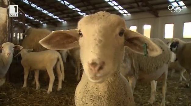 """Невероятните овце на кооперация """"Напредък"""" от село Батак"""
