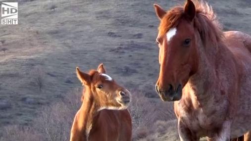 Каракачанските коне