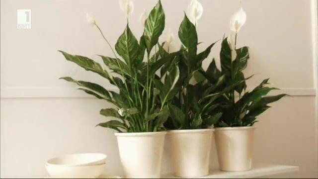 Кои домашни растения са най-добри за пречистване на въздуха