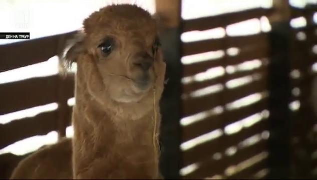 Фермата, в която има пашуващи саанска коза, лама алпака и шотландско пони