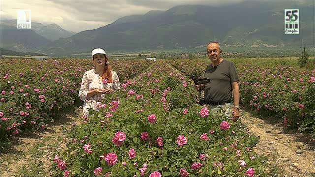 Розовата реколта и проблемите с изкупуването ѝ