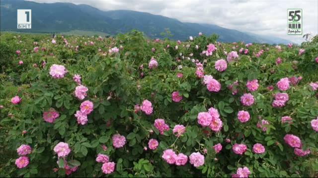 Розовите градини и проблемите около тях