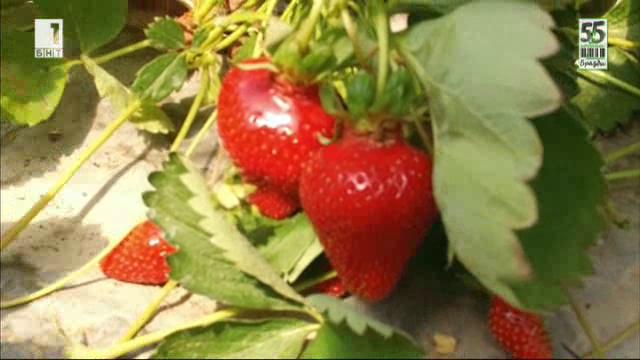 Ягодите на една прекрасна жена – градинар пето поколение