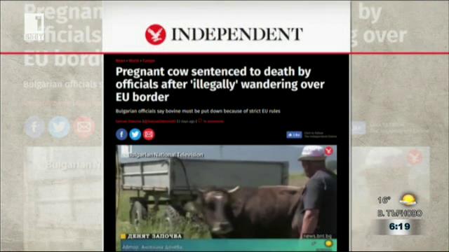 Международен интерес към съдбата на българската крава-беглец