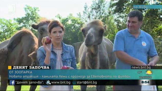 Новата атракция - камилата Леми с прогноза за Световното по футбол