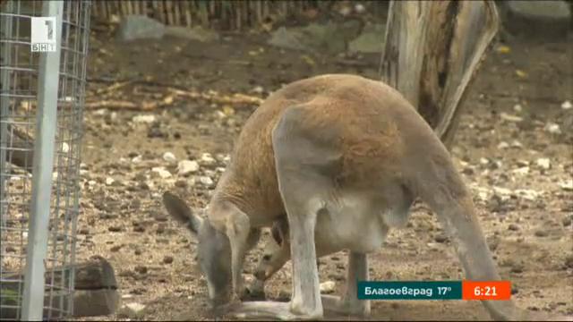 Да дадем име на новороденото кенгуру в Софийския зоопарк